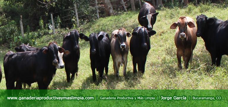 ganaderia-productiva-y-mas-limpia-jorge-garci-lote-machos-1