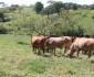 ganaderia-productiva-y-mas-limpia-jorge-garcia-lote-hembras